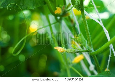 Flower Of A Young Cucumber, Against Green Foliage