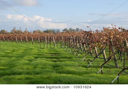 Edge of Autumn Vineyard