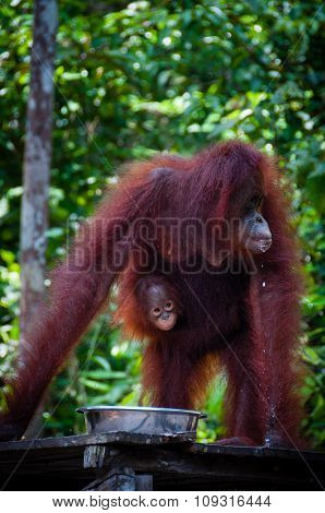 Female Orang Utang with baby in jungle of Borneo