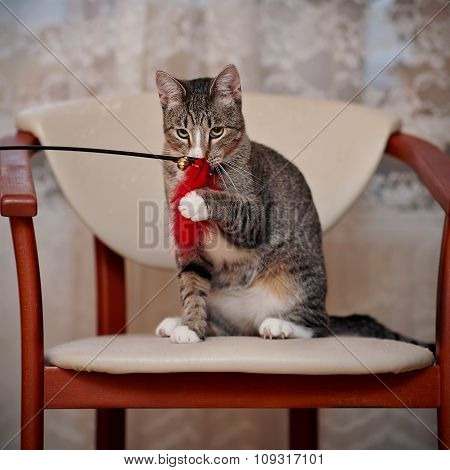 The Striped Domestic Cat Plays With A Toy