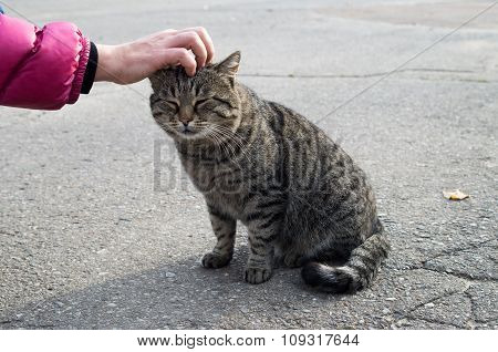 Female Hand Closeup Petting Stray Gray Cat