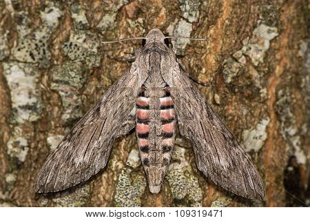 Convolvulus hawk moth (Agrius convolvuli) at rest on tree