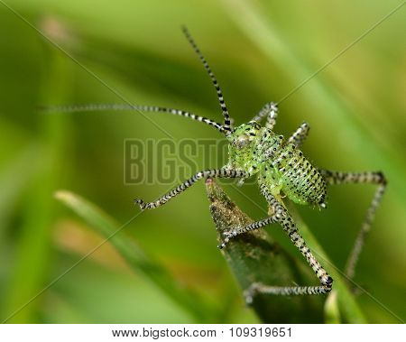 Speckled bush-cricket nymph (Leptophyes punctatissima)