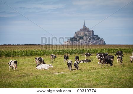 Cows At Mont Saint Michel