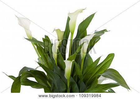 Calla lily isolated on white