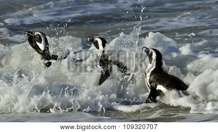 African Penguins (spheniscus Demersus) Leave The Ocean