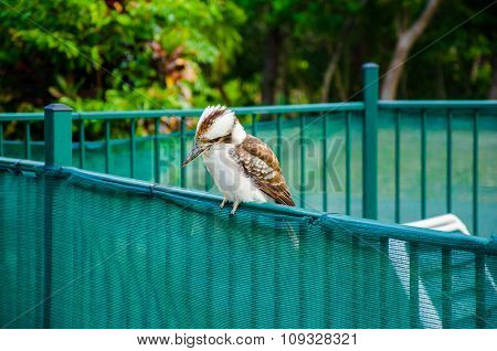 Kookaburra On A Fence