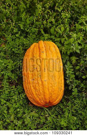 Big Pumpkin In The Grass