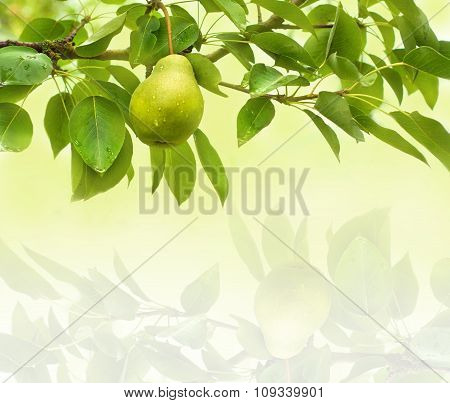 Pear Fruit Background