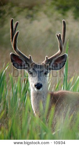 Mule Deer In Wetlands