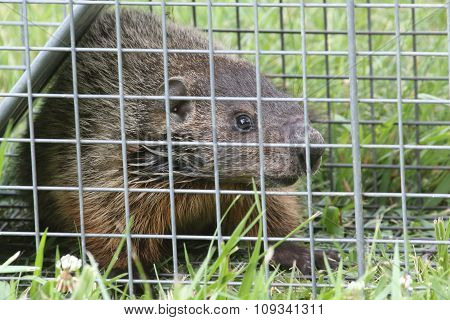 Groundhog (marmota Monax) In A Trap