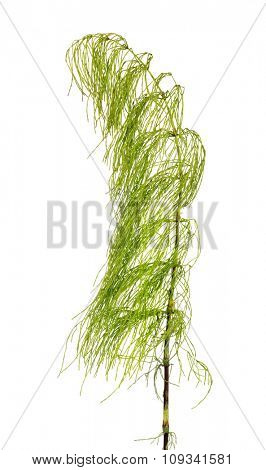 green horsetail isolated on white background