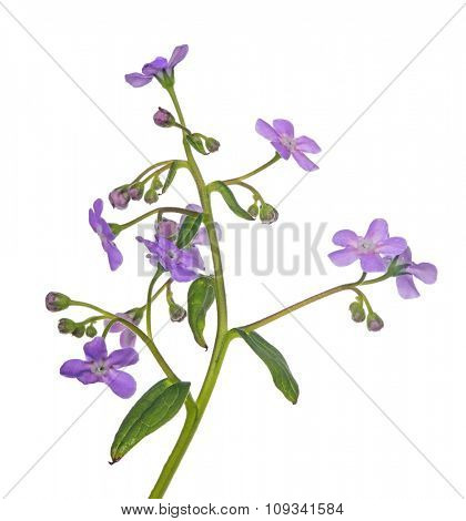 light lilac forget-me-not flower isolated on white background