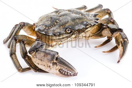 Carcinus maenas -edible alive crab isolated on a white background.