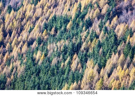 Aerial view of a pine and larch forest. Perfect as background and texture. Autumn season. European Alps.