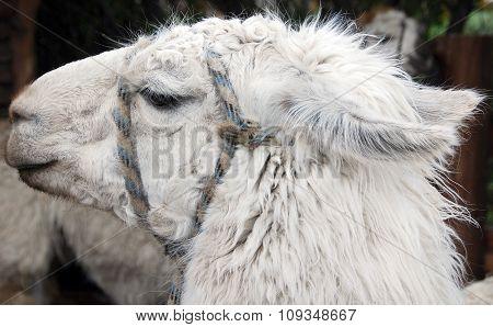 the llama