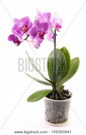 Pink orchid in pot on white background.