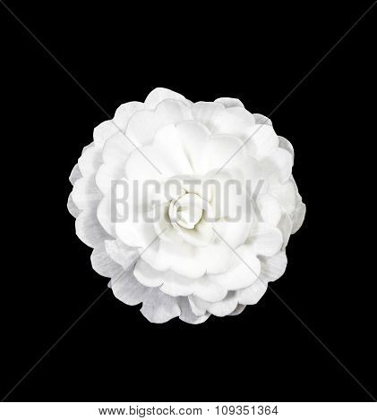 White Rose Flower Isolated On Black
