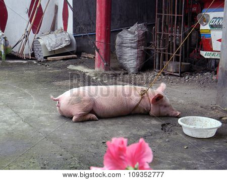 Pig Tied in a Yard