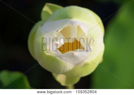 Closeup White lotus is blooming in the lake. Lotus flower in the farm at daytime. Buddhist give lotu