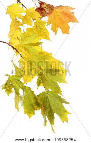 Branch with maple leaves isolated on white background