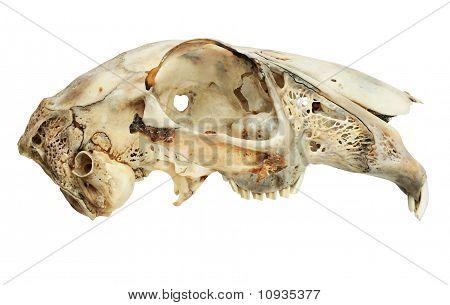 Isolated Hare Skull