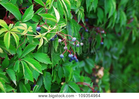 Wild grape vines with berries in the garden