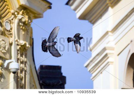 Pigeon playing over Big Square in Sibiu, Romania