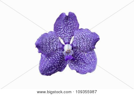 Selective Focus Violet Streaked Orchid Flower Isolated On White
