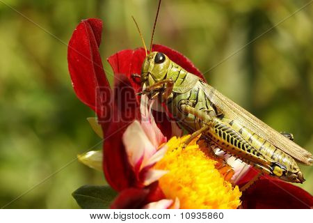 Differenzielle Grasshopper (Melanoplus Differentialis)