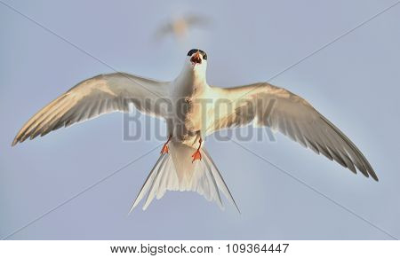 Flitting  The Common Tern (sterna Hirundo) On Blue Sky Background