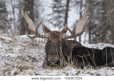 A resting Bull Moose in winter