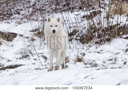 A lone Arctic Wolf in a winter scene