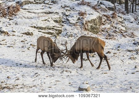 A large Wapiti in a winter scene