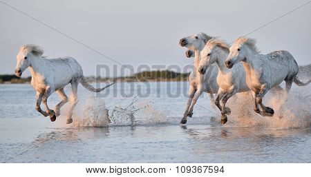 Herd Of White Horses Running Through Water