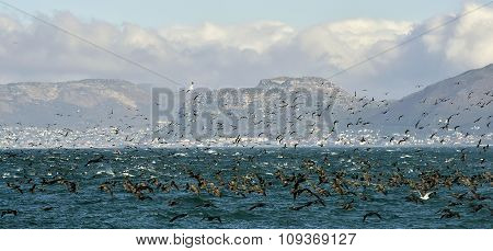 The Cape Cormorants (phalacrocorax Capensis) On The Shiny Water Background