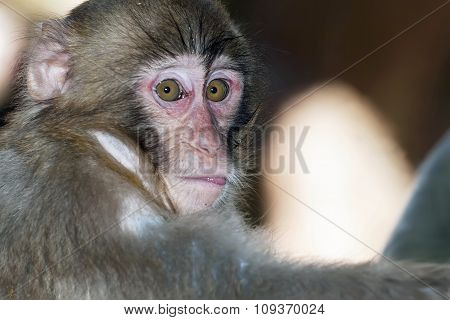 Portrait of sad monkey with bright yellow eyes looking in camera.