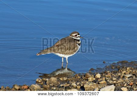 Killdeer by the water