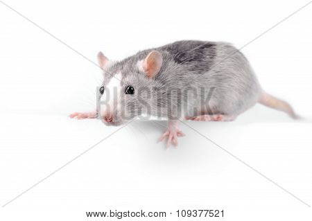 fancy silver rat over white background