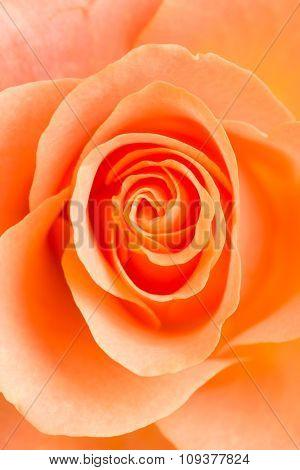 macro shot of orange rose flower