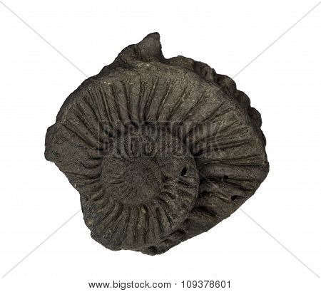 Beautiful round imprint of ammonite on a clay of Jurassic period