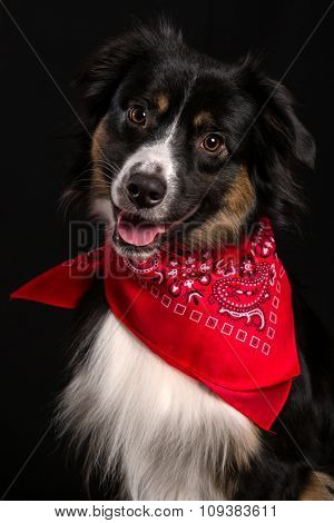 Young miniature Australian Shepherd portrait on black