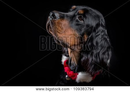 Young Gordon Setter portrait on black with Christmas accessories.