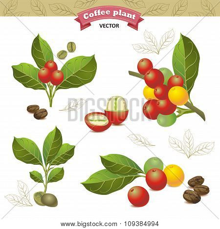 Collection Of Coffee Beans On A Branch Of Coffee Tree, Ripe And Unripe Berries Isolated On White Bac