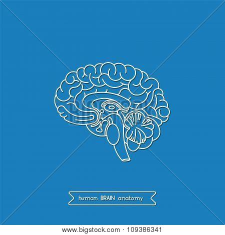 Human Brain 1