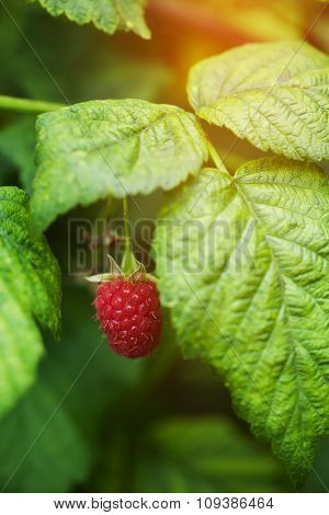 Ripening Raspberries On The Bush In A Kitchen Garden