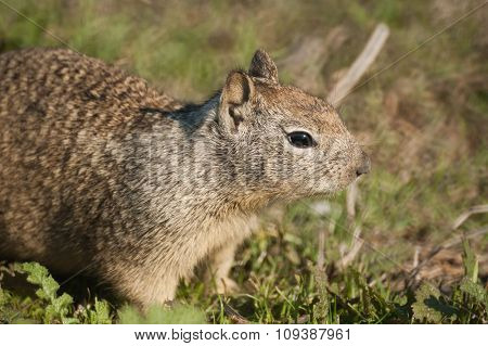 close up of a California Ground Squirrel (Otospermophilus beecheyi)