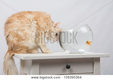 Cat Hunting Looking At Goldfish