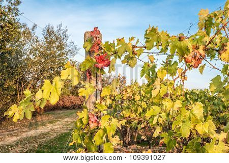 Vines In Autumn In The Countryside
