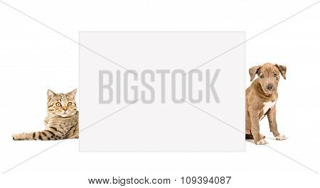 Cat Scottish Straight and puppy pit bull peeking from behind  placard